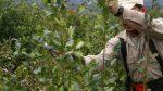Plan de lucha de tareferos: con la yerba a 80 pesos el kilo, cobran 90 centavos
