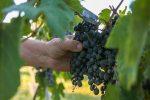 Victoria produce vinos con denominación de origen