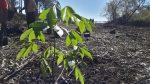 Plantaron más de 60 especies nativas como parte de un plan de restauración ambiental en Salto Grande
