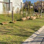 Carpinchos en Nordelta: La urbanización afecta a nuestra fauna nativa